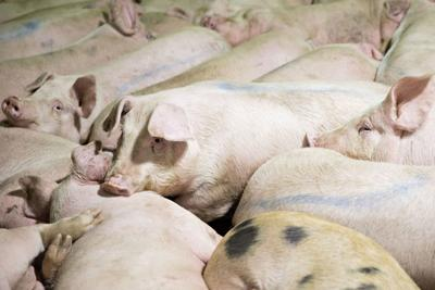 New joint venture formed to convert pig manure to power